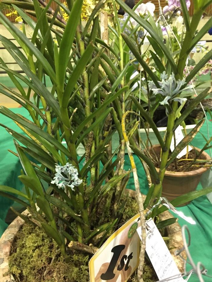 borneo orchid show 2015 (8)