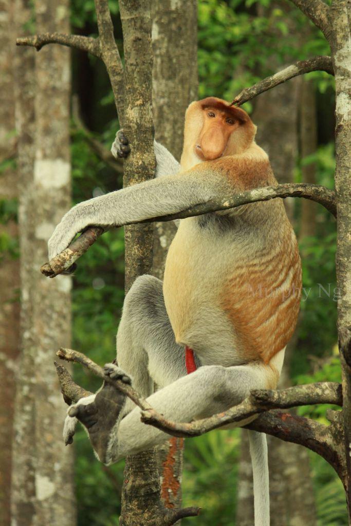proboscis monkey (1)