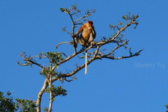 proboscis monkey (2)