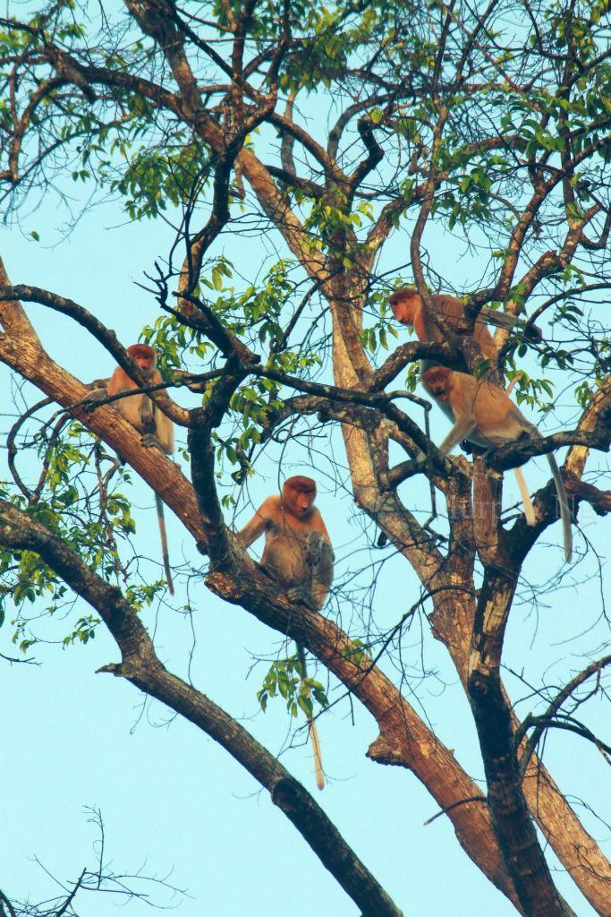 proboscis monkey (3)