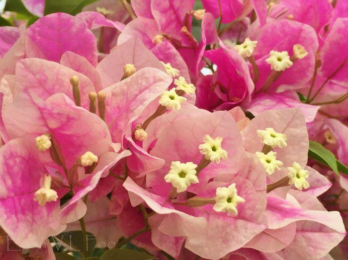 bougainvillea pink (1)