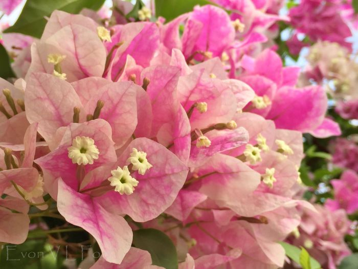 bougainvillea pink (2)