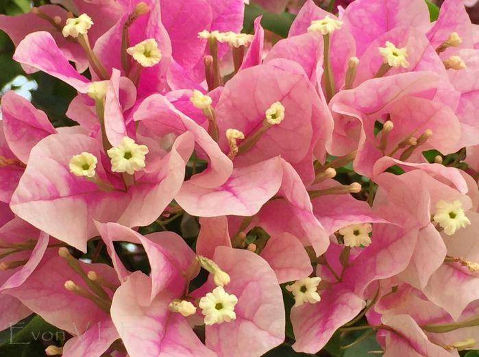 bougainvillea pink (3)