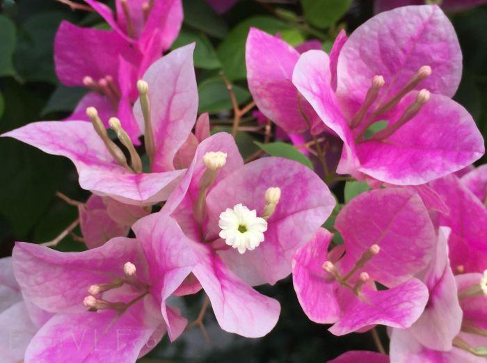 bougainvillea pink (4)