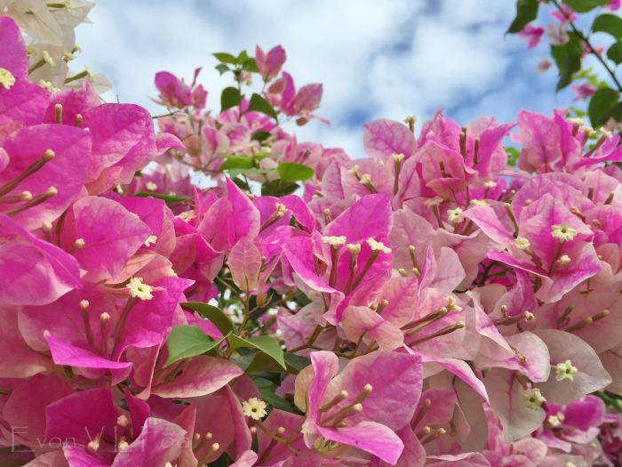 bougainvillea pink (5)
