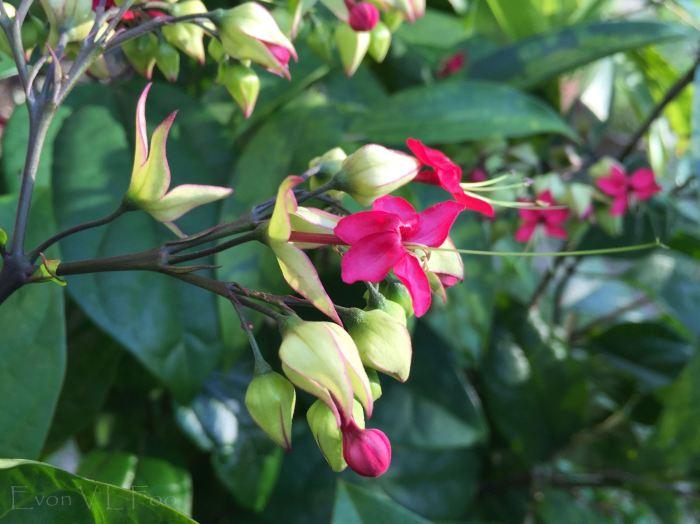 bleeding heart vine glory bower (2)