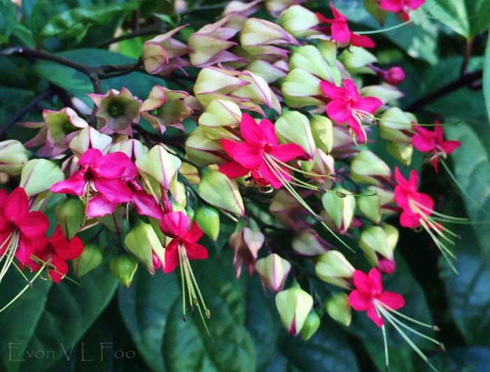 bleeding heart vine glory bower (5)
