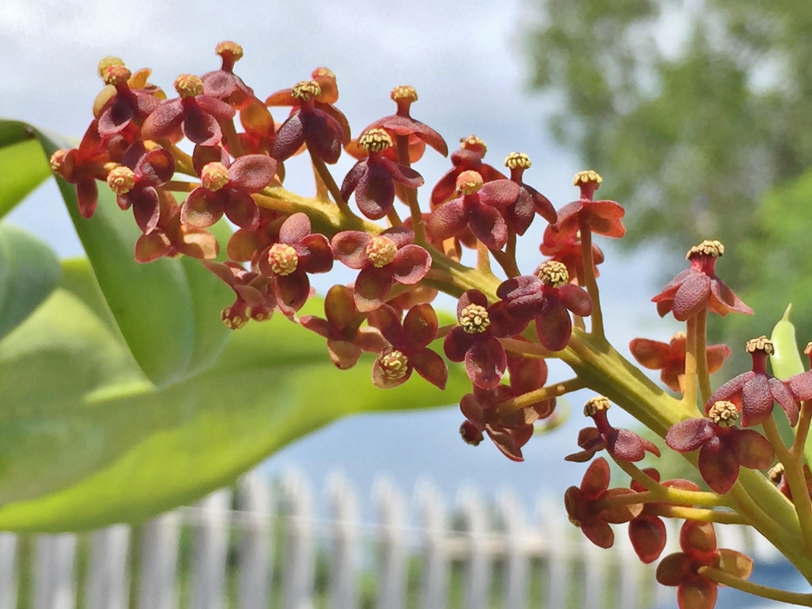 pitcher plant (1)