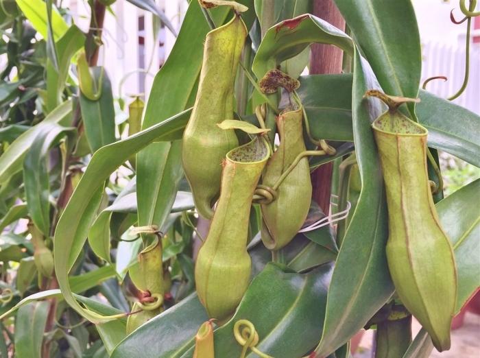 pitcher plant (4A)