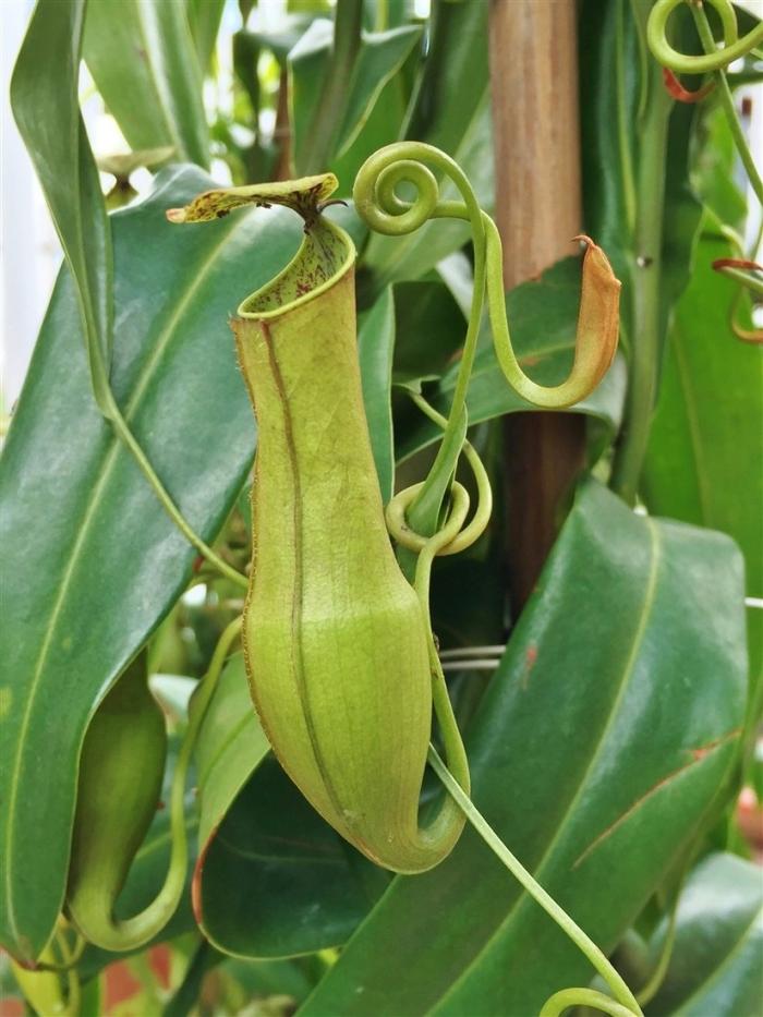 pitcher plant (4B)