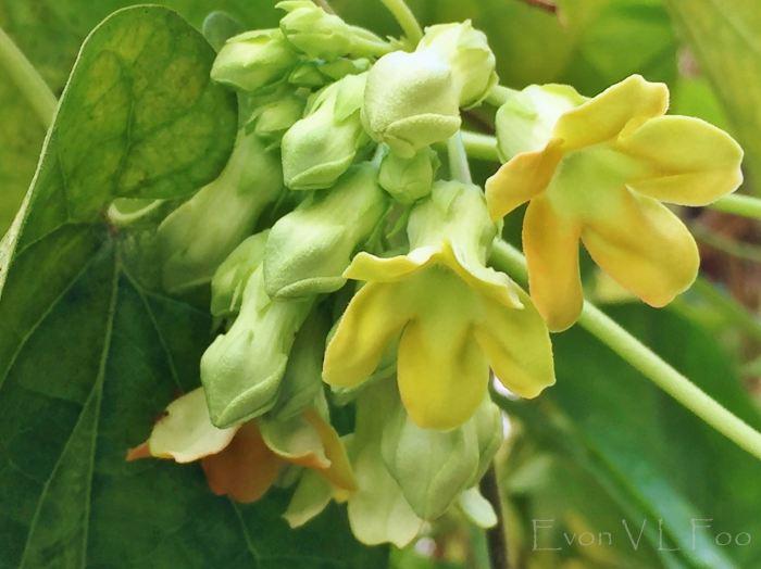 tonkin jasmine (1)