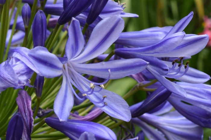 agapanthus-african-lily