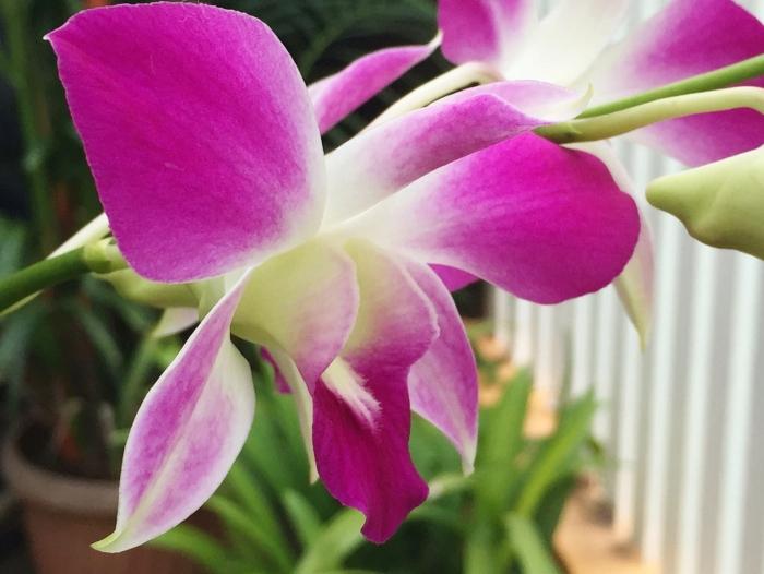 dendrobium-orchid