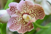 orchid-vanda-2