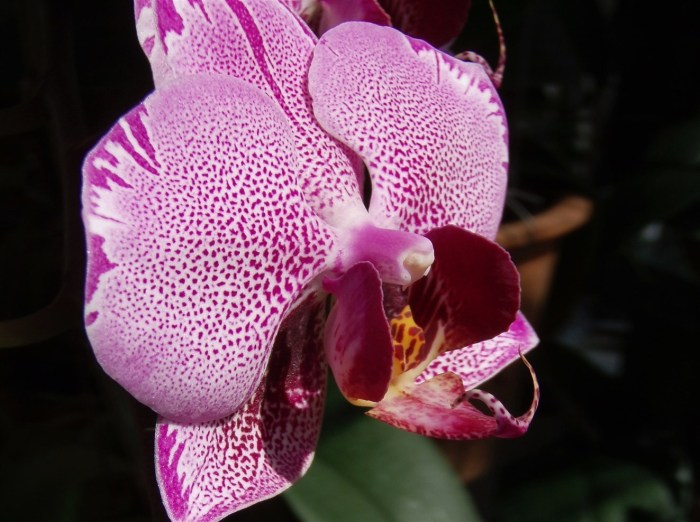 pink-spotted-phalaenopsis