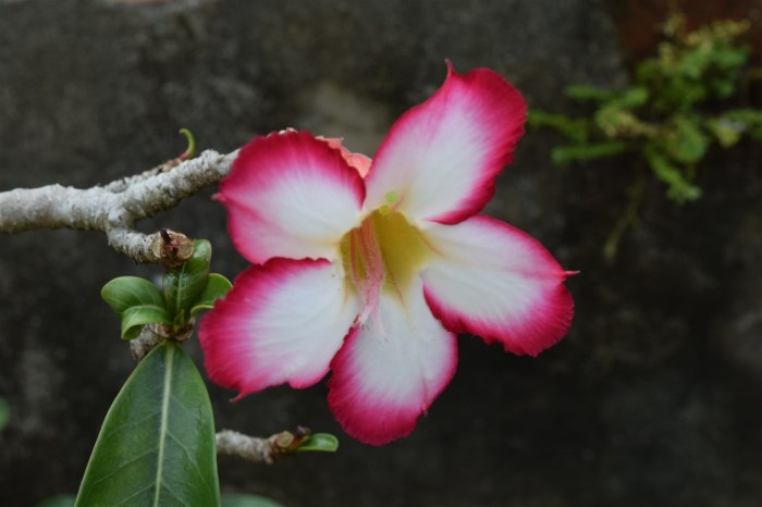 desert-rose-2