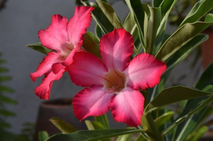 desert-rose-3
