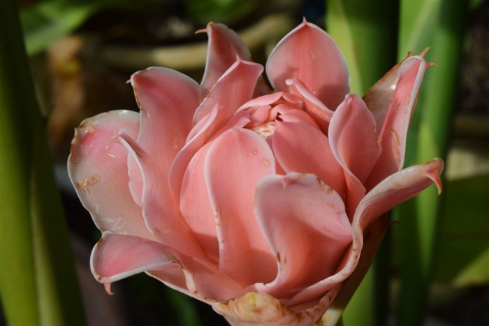 torch-ginger-1