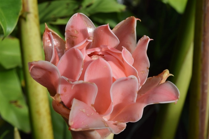 torch-ginger-2