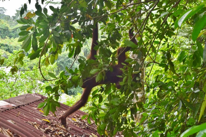 orangutan & sun bear (3)