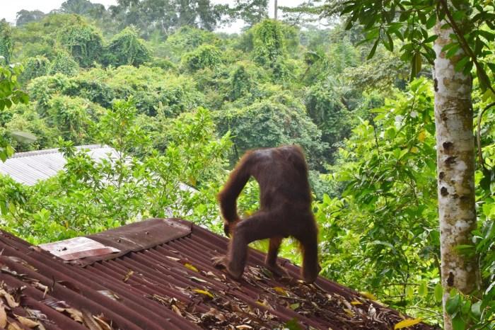 orangutan & sun bear (4)