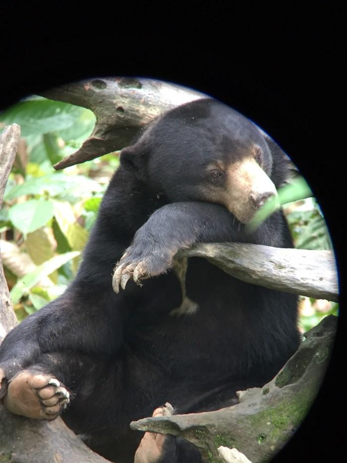 orangutan & sun bear (5)