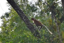 sukau kinabatangan, wildlife, proboscis monkeys