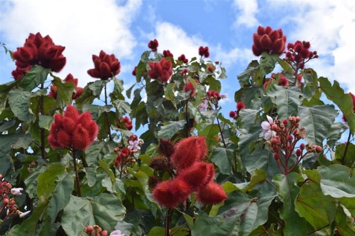 medical mission trip lumampau sipitang sabah, bixa orellana, lipstick tree, 紅木, 胭脂樹