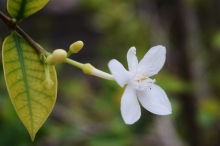 wrightia, arctic snow, white flower, true friendship