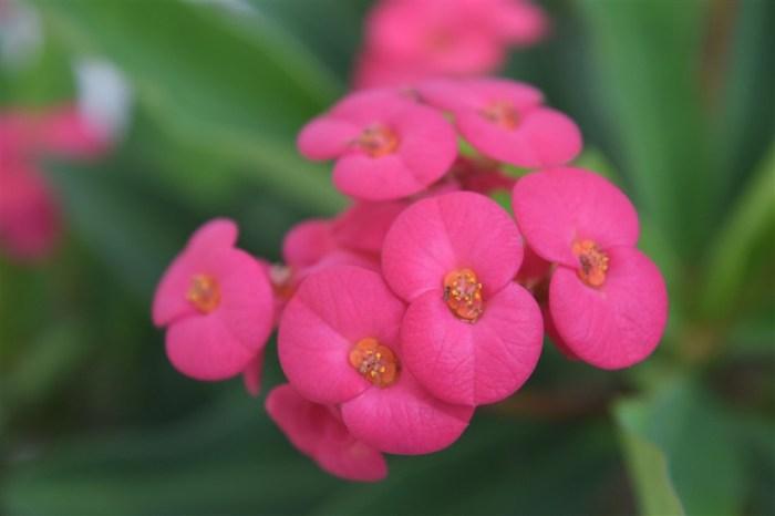 euphorbiamilii christplant (5)