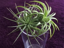 air plant, oxygen plant, change, thriving