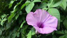 morning glory, being hopeful, aging gracefully
